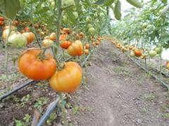 Vesti bune pentru legumicultori!
