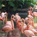 Viata secreta a pasarilor flamingo: Au prietenii care dureaza ani, dar si o ciudatenie