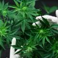 """Viitorul guvern german ar putea legaliza marijuana. Revolta Poliției: """"Trebuie să încetăm să banalizăm consumul de canabis"""""""