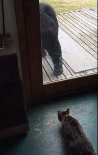 Viral: Cum pune o pisica pe fuga un urs (Video)