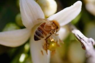 Virusul care ameninta existenta albinelor