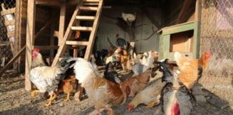Virusul gripei aviare, confirmat si in Harghita. Autoritatile sunt in alerta dupa focarul din ferma de la Ungheni