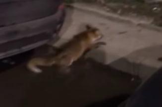 Vulpe lovita de o masina pe un bulevard din Capitala