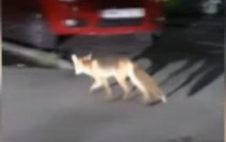 Vulpi surprinse pe strazile din Bucuresti. Una dintre ele a fost filmata cu o pisica in gura