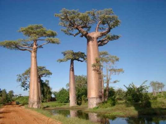 Specii de copaci