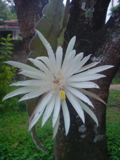 Cactusul orhidee (Epiphyllum oxypetalum)