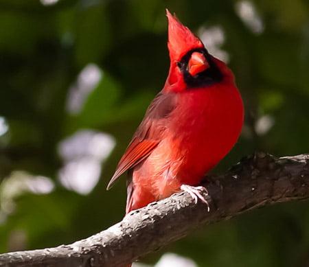 Cardinalul nordic
