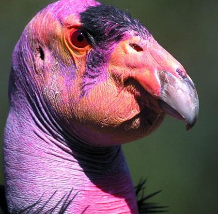Condorul californian