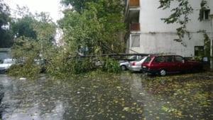 copaci amsina Bucuresti