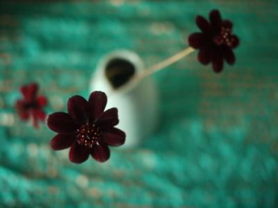 Floarea de ciocolata (Cosmos astrosanguineus)