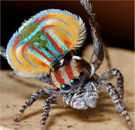 paianjen paun abdomen colorat