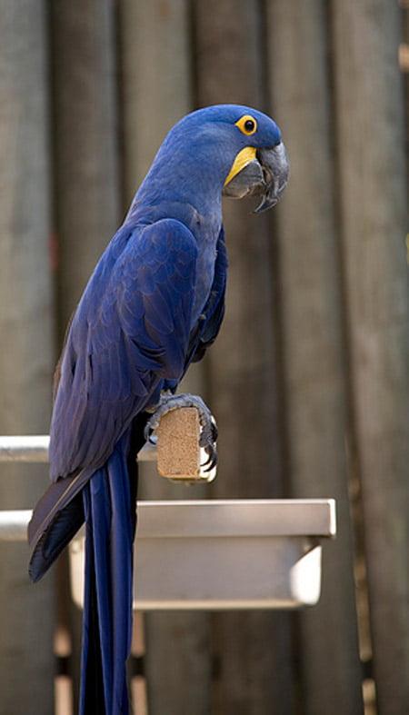 Papagalul Ara Lear