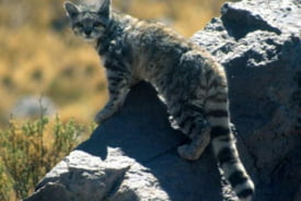 Pisica anzilor (Leopardus jacobita)