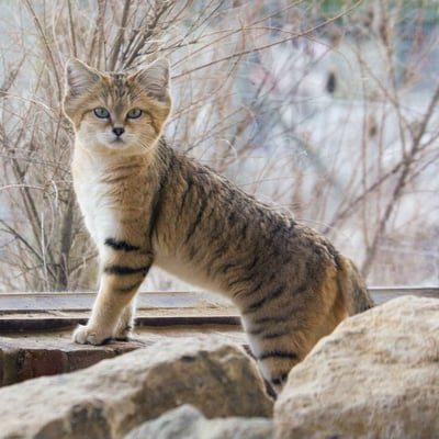 Pisica de nisip (Felis margarita)