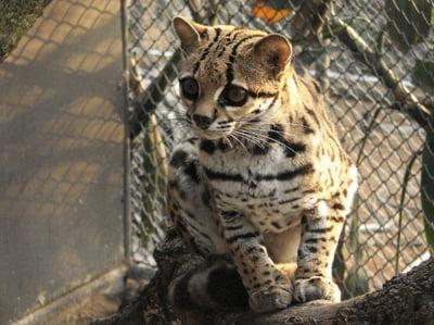 Pisica Margay (Leopardus wiedii)