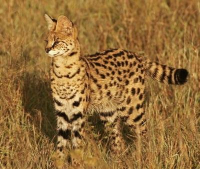 Pisica Serval (Leptailurus serval)