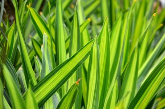 Planta Sarpe