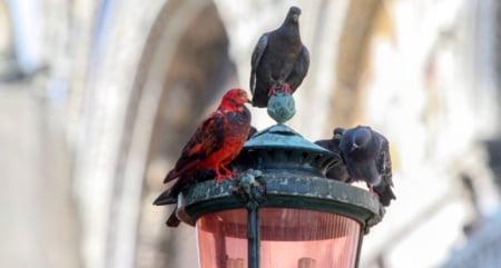 Porumbeii curcubeu