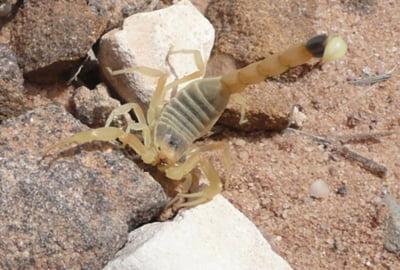 Scorpionul galben palestinian