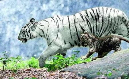 Tigrii negri