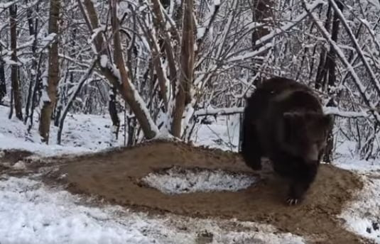 urs, cusca, natura, cerc, zarnesti