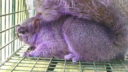 Veveritele violet