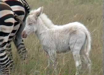 Zebra fara dungi